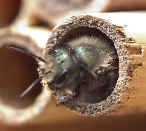 mason bee or osmia lignaria emerging from a phragmite reed